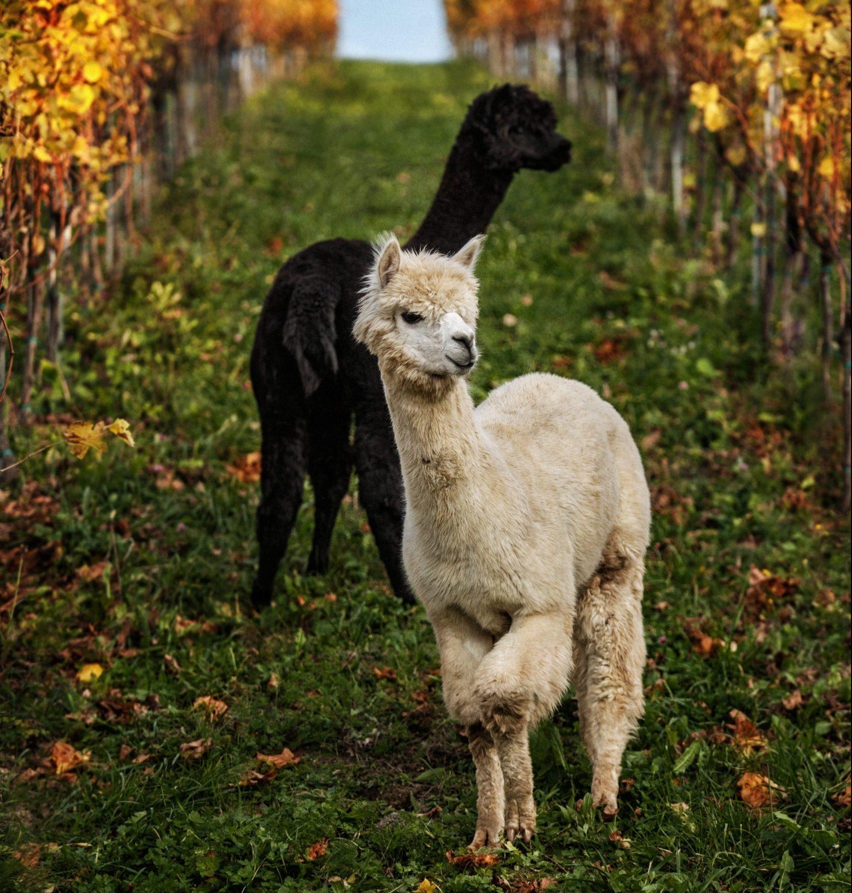 Alpakas in der Südsteiermark
