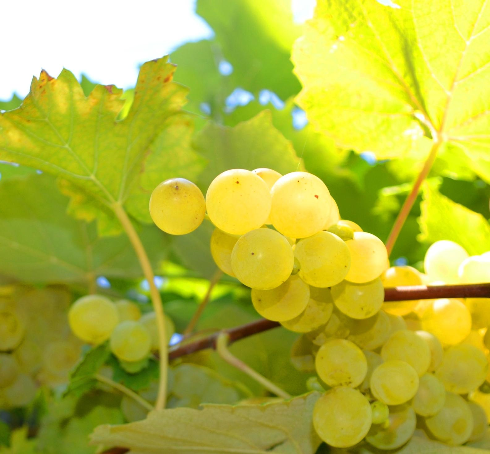 Es verspricht ein toller Jahrgang zu werden! Wir freuen uns auf einen tollen Wein.