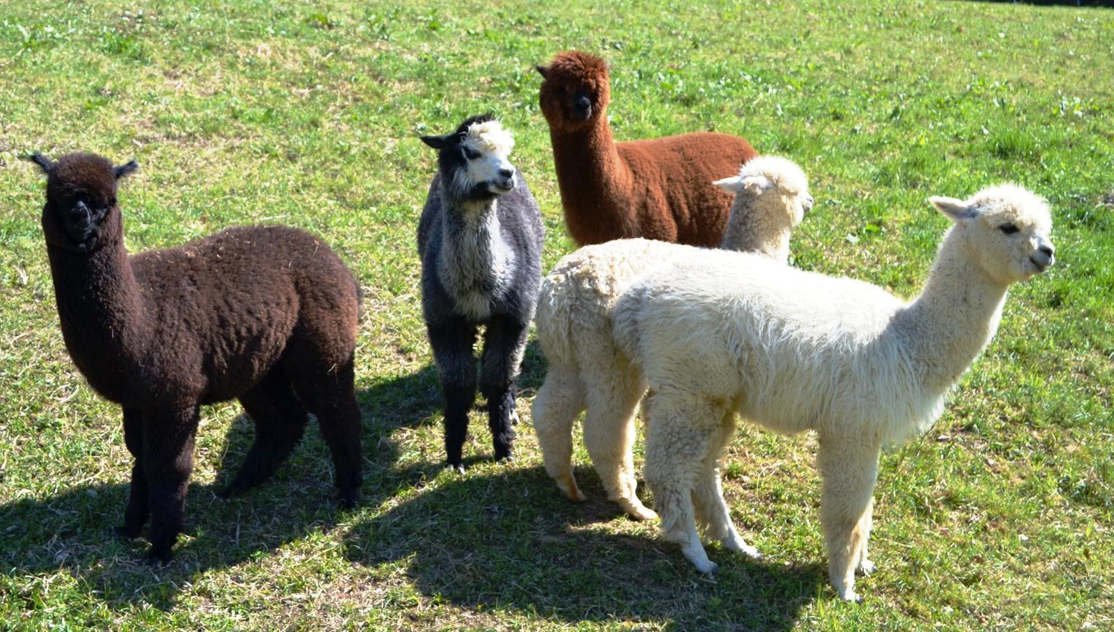 Unsere Alpakas am Knappenhof in Gamlitz Südsteiermark freuen sich auf Ihren Besuch!