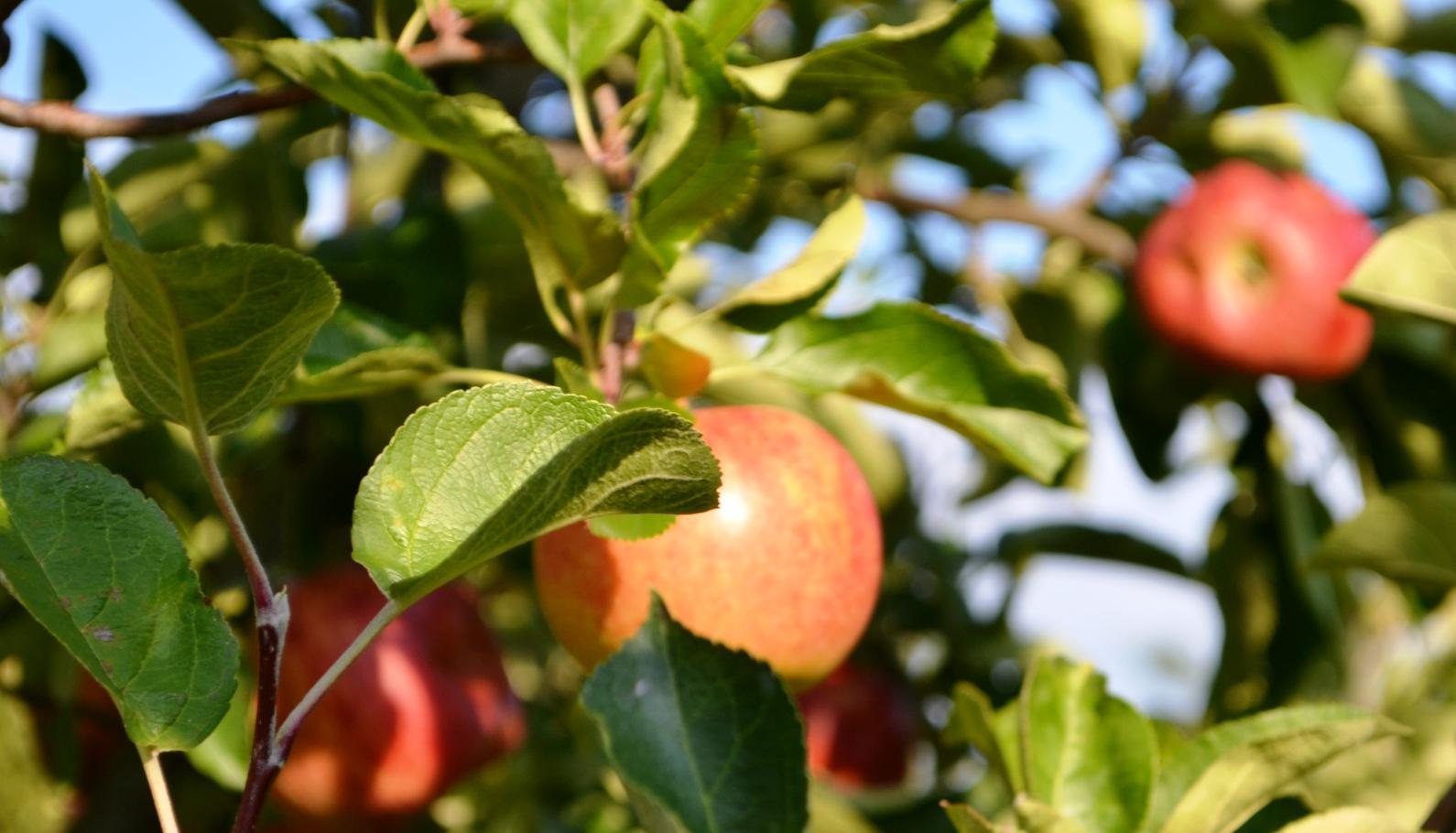 Frisches Obst direkt vom Baum!